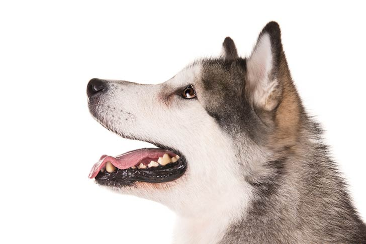 Alaskan Malamute head facing left