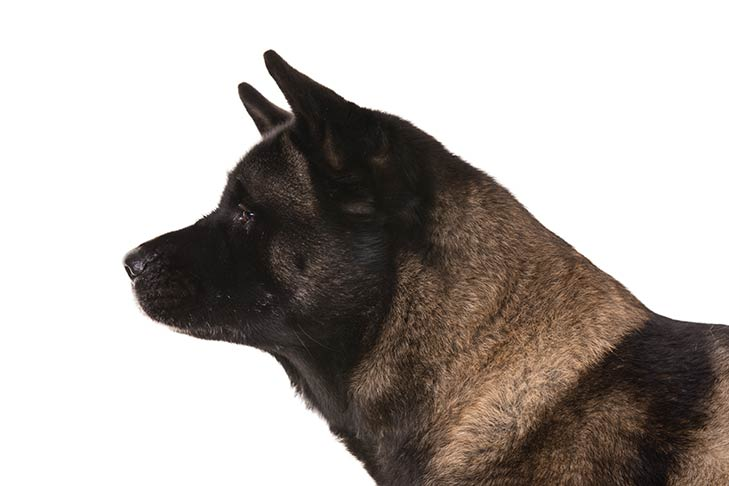 Akita head facing left
