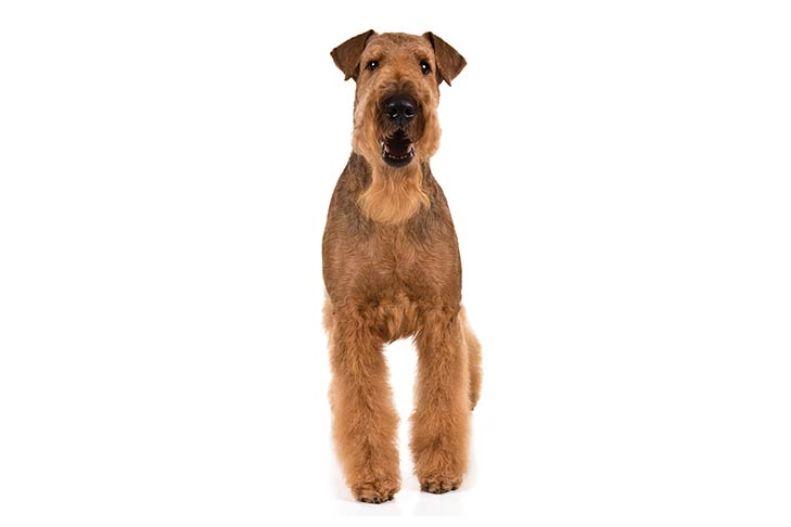 Airedale Terrier standing facing forward.