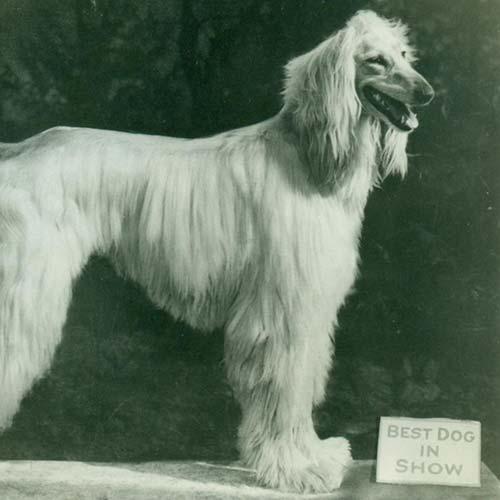 Afghan Hound Dog Breed Information , American Kennel Club
