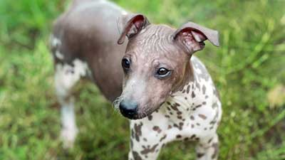 Hairless Dog Breeds American Kennel Club