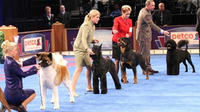 AKC/UKC Miniature American Shepherd Show Dogs