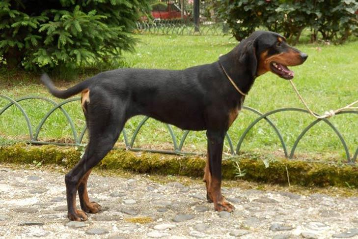 Ideal Balance Dog Food >> Transylvanian Hound Dog Breed Information - American Kennel Club