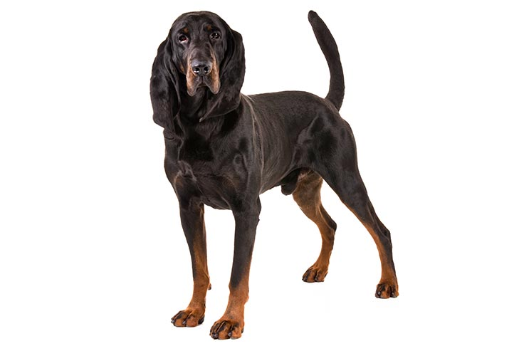 Black and Tan Coonhound standing in three-quarter view on a white background.