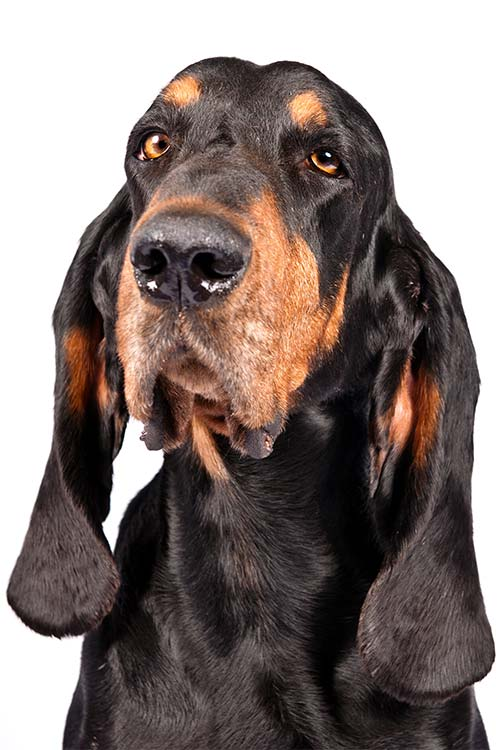 Black and Tan Coonhound head in three-quarter view on a white background.