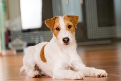 Parson Russell Terrier Pictures - American Kennel Club