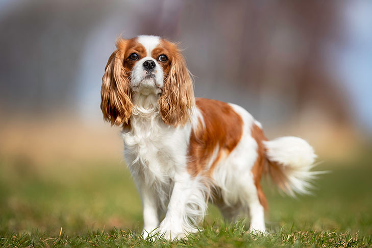 Cavalier King Charles Spaniel standing outdoors.