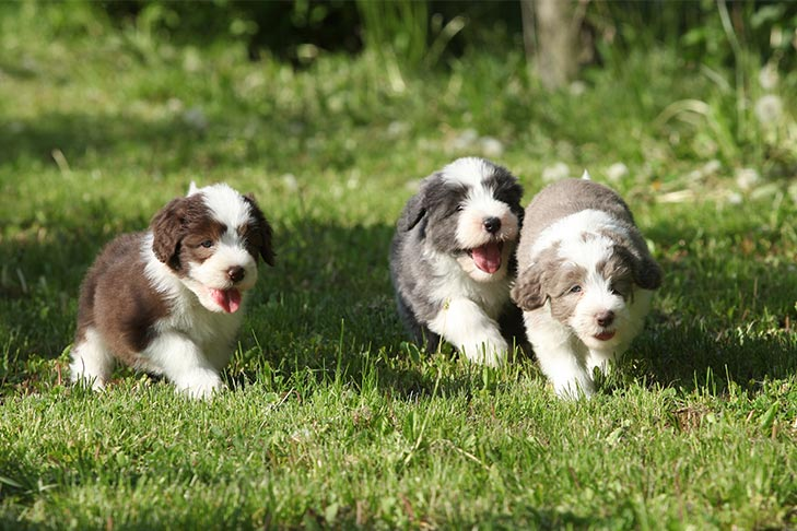 Bearded Collie puppies running outdoors.