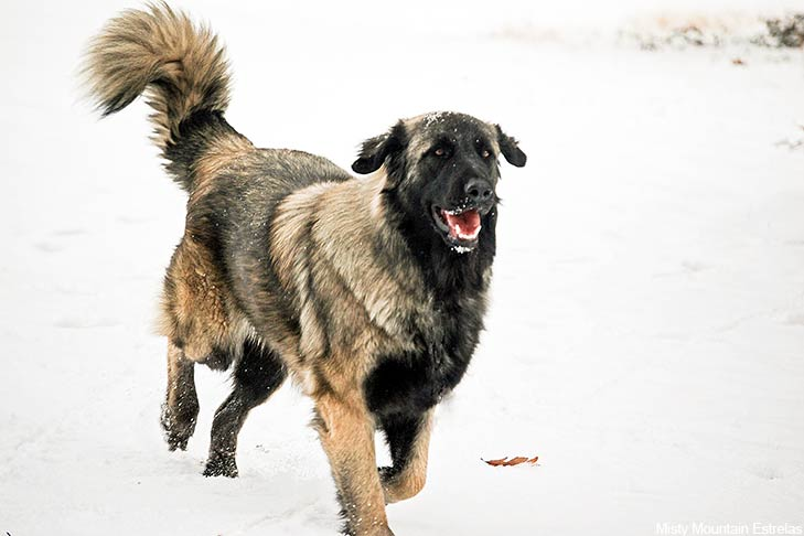 Estrela Mountain Dog running through the snow.