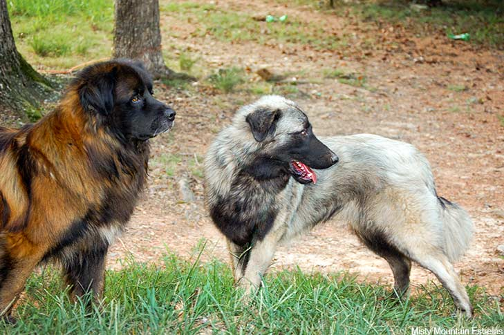 Two Estrela Mountain Dogs standing together outdoors.