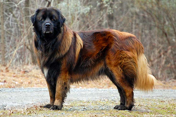 Estrela Mountain Dog standing outdoors.