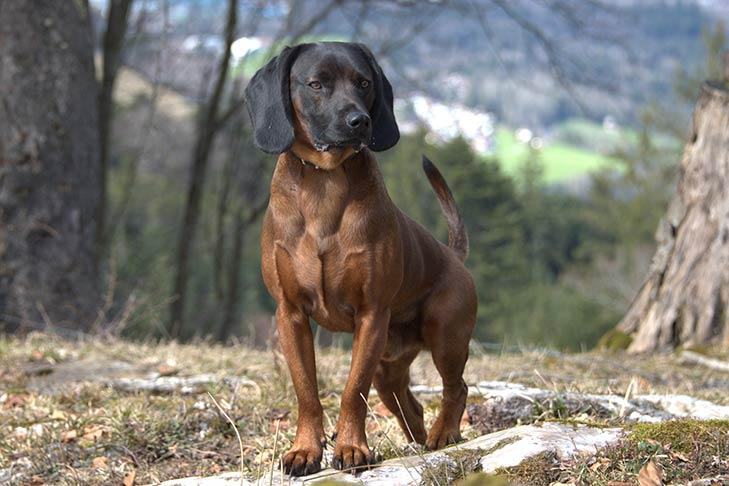 Bavarian Mountain Scent Hound
