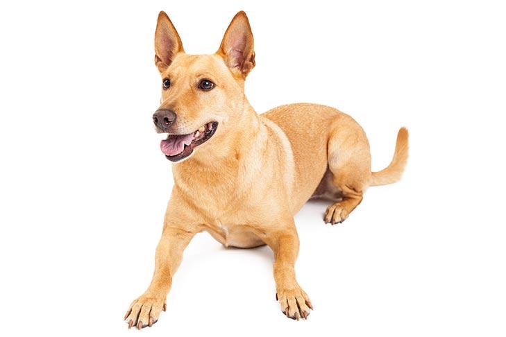 Carolina Dog Dog Breed Information American Kennel Club
