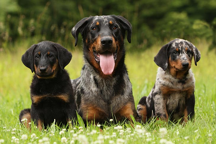 Beauceron Puppies For Sale - AKC PuppyFinder