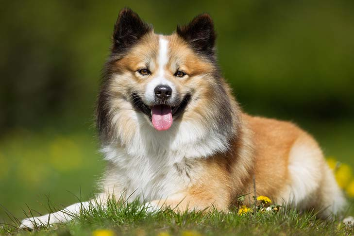 Icelandic Sheepdog lying outdoors in three-quarter view.