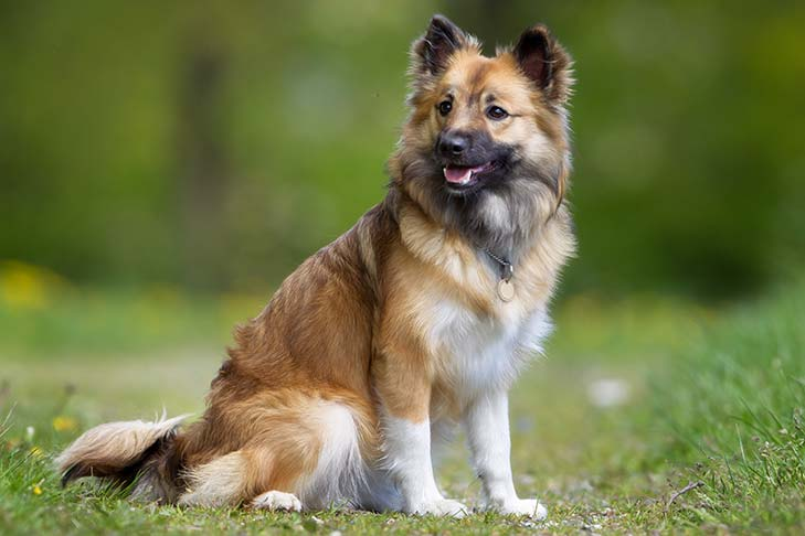 Icelandic Sheepdog sitting facing right, head turned left.