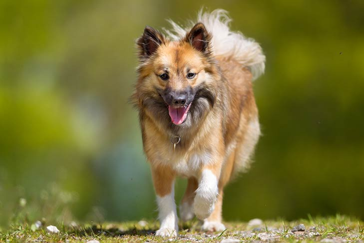 Icelandic Sheepdog running outdoors in sunlight.