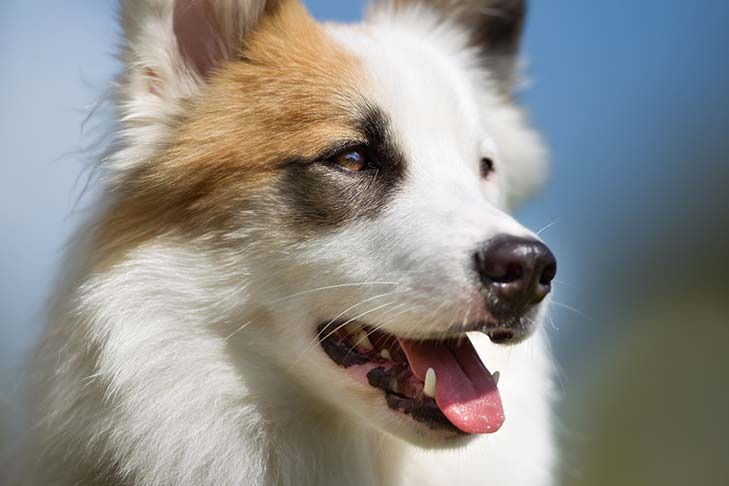 Icelandic Sheepdog face in three-quarter view.
