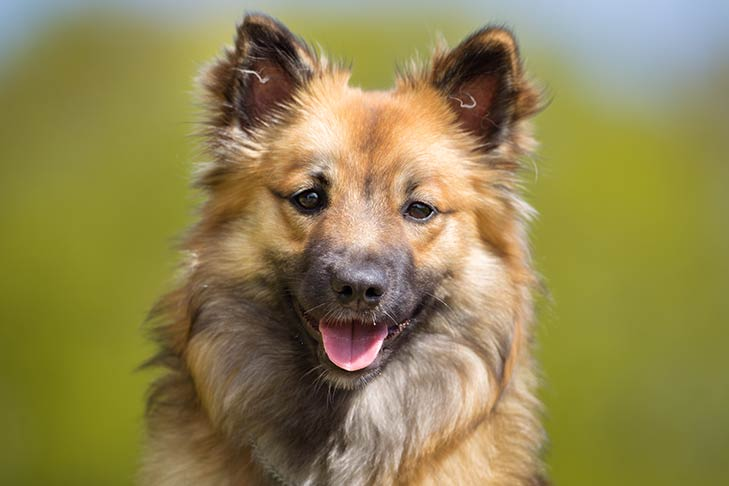 Icelandic Sheepdog face.