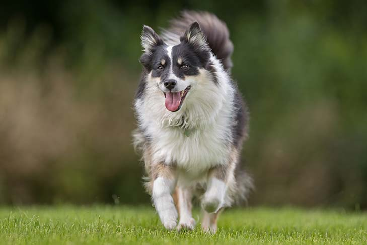 Icelandic Sheepdog running outdoors.