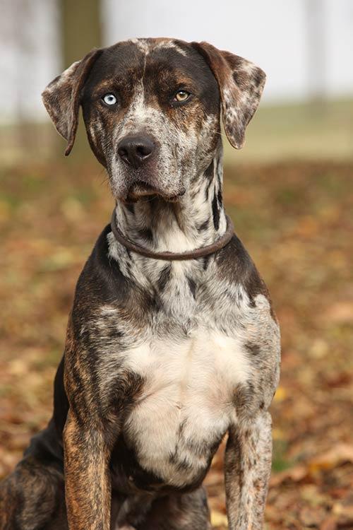 Catahoula Leopard Dog Dog Breed Information - American