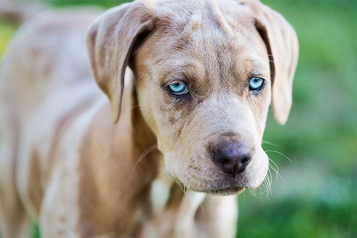 Catahoula Leopard Dog Dog Breed Information - American