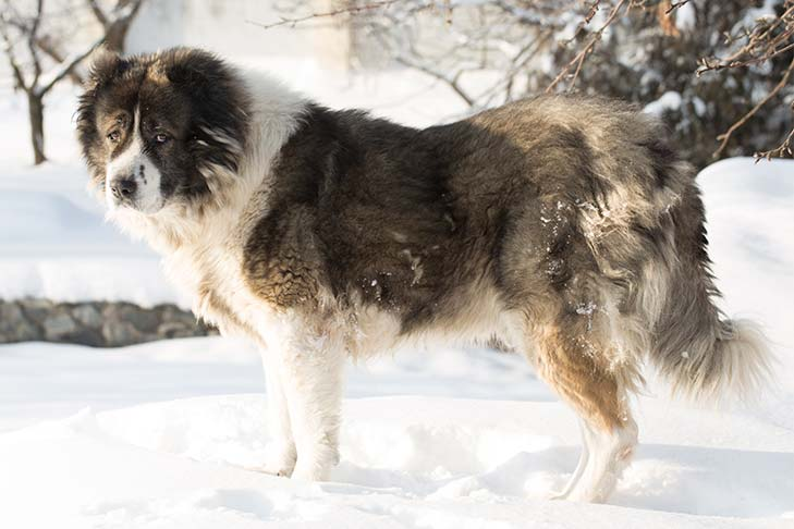 Caucasian Shepherd Dog Dog Breed Information - American