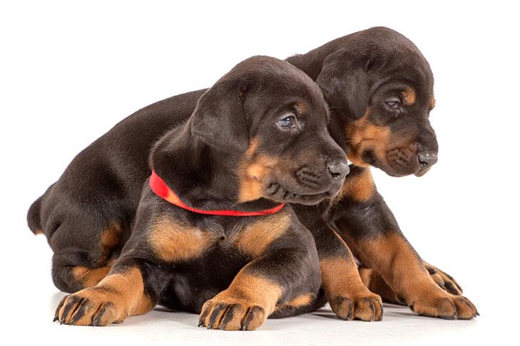 В этом разделе Вы сможете купить добермана. Купить щенка породы доберман, цена собаки, объявления с фото от заводчиков добермана и из питомников.