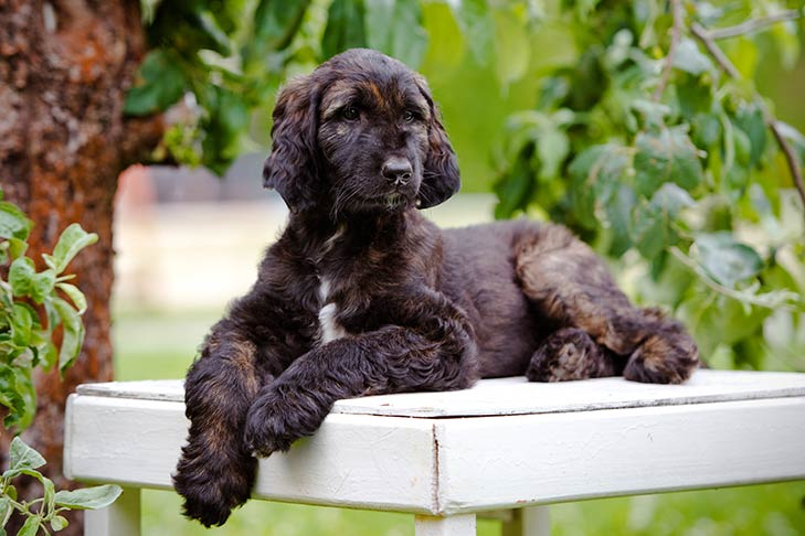 Afghan Hound Puppies For Sale - AKC PuppyFinder