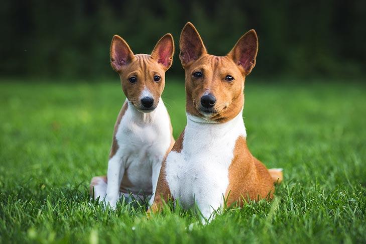 Basenji Puppies For Sale Akc Puppyfinder