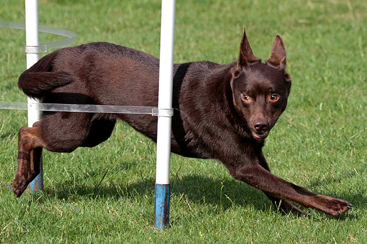 Australian Kelpie leaping around vertical agility poles.