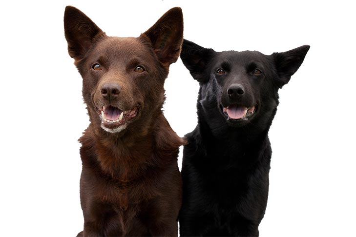 Two Australian Kelpies sitting side by side, one brown-coated and one black-coated.