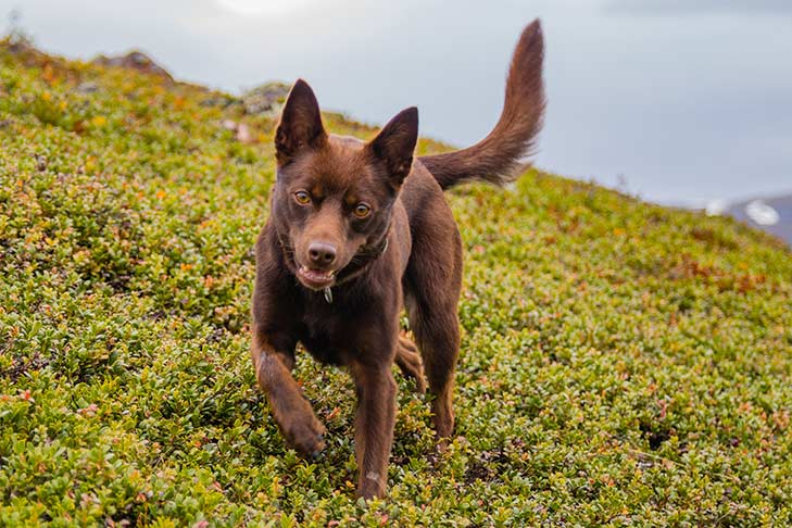 Australian Kelpie walking down a steep slope outdoors.