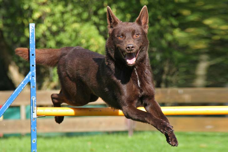Australian Kelpie jumping over a horizontal agility pole.
