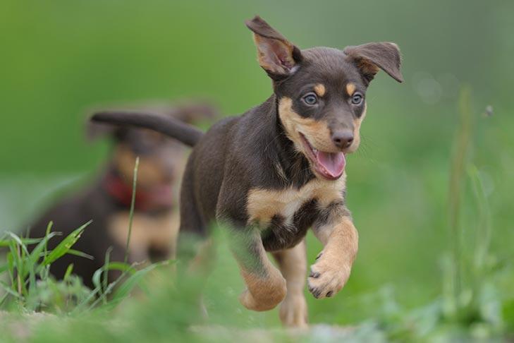 Australian Kelpie Dog Breed Information - American Kennel Club