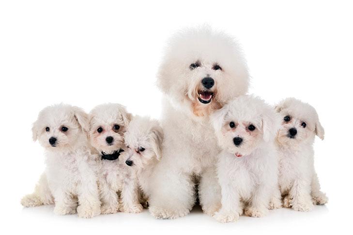 Bichon Frise Puppies For Sale Akc Puppyfinder