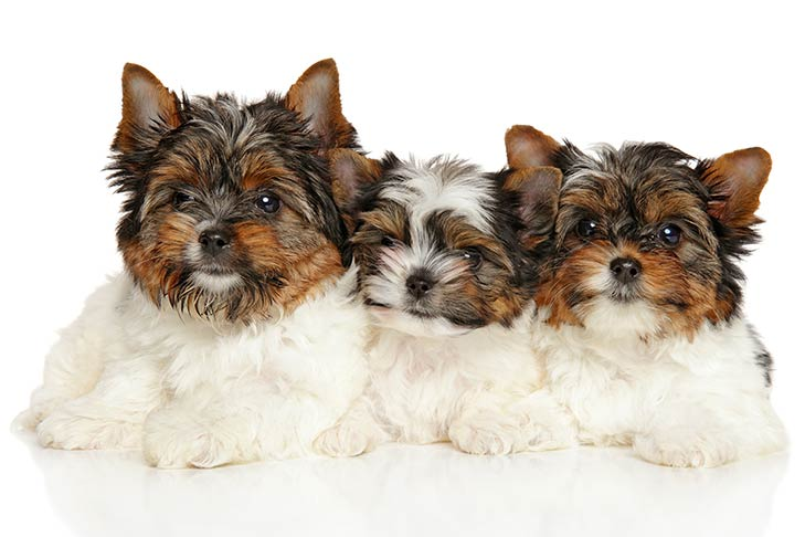 Biewer Terrier (Biewer) Puppies For Sale - AKC PuppyFinder