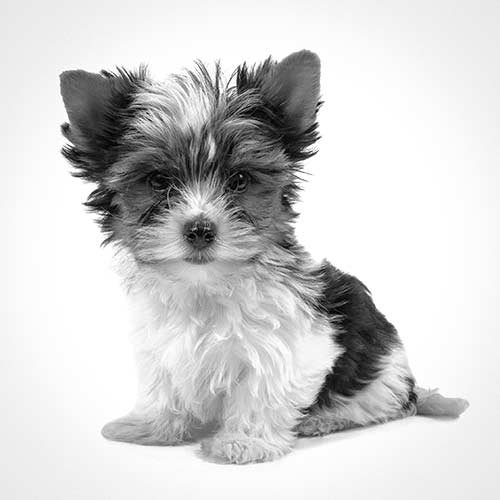 Biewer Terrier Dog Breed Information American Kennel Club