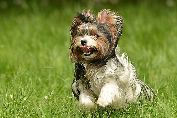 Biewer Terrier running through grass outdoors.