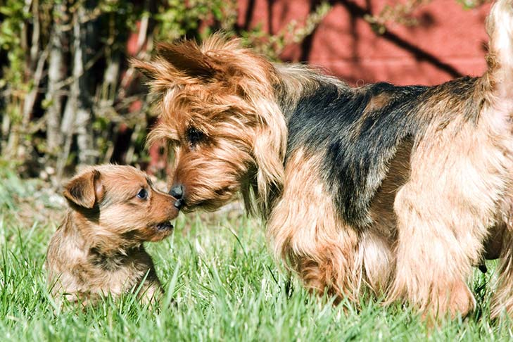 Australian Terrier dam and puppy nose to nose outdoors in sunlight.