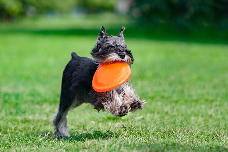 Miniature Schnauzer fetching a frisbee.