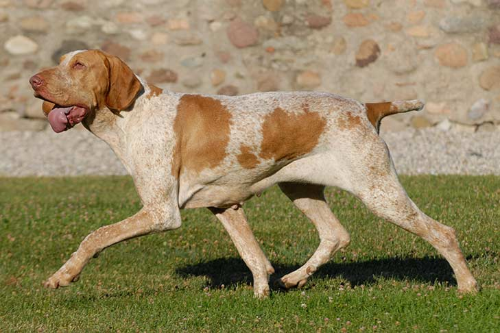 Bracco Italiano running through the grass outdoors in the evening.