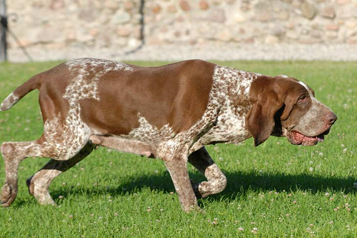 Bracco Italiano walking through the grass outdoors in the sunshine.