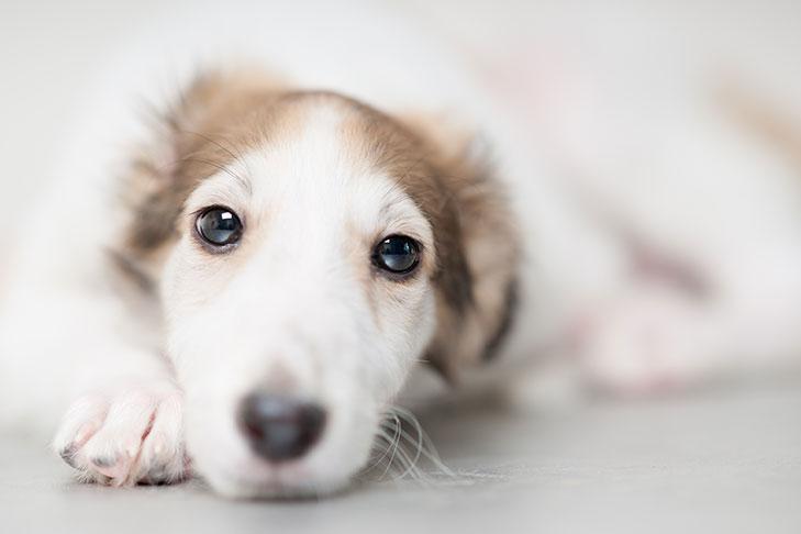 Borzoi Puppies For Sale Akc Puppyfinder