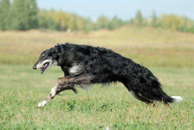 Afghan Hound Dog Breed Information American Kennel Club