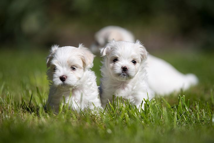 Maltese Puppies For Sale Akc Puppyfinder