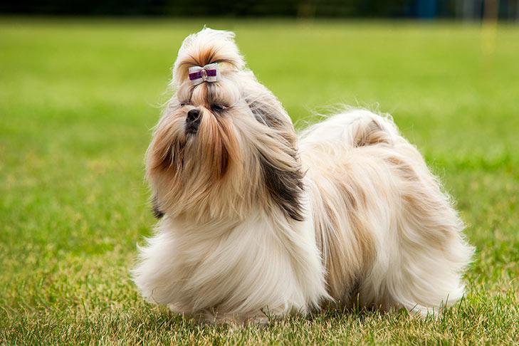 كلب تشيه تزو