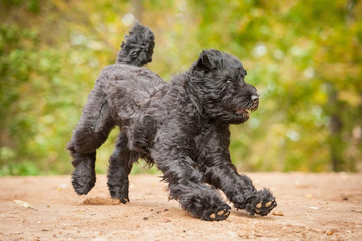 Black Russian Terrier playing outdoors.
