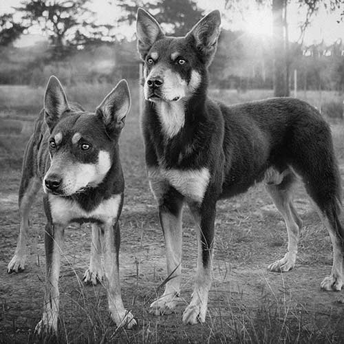 Working Kelpie Dog Breed Information - American Kennel Club