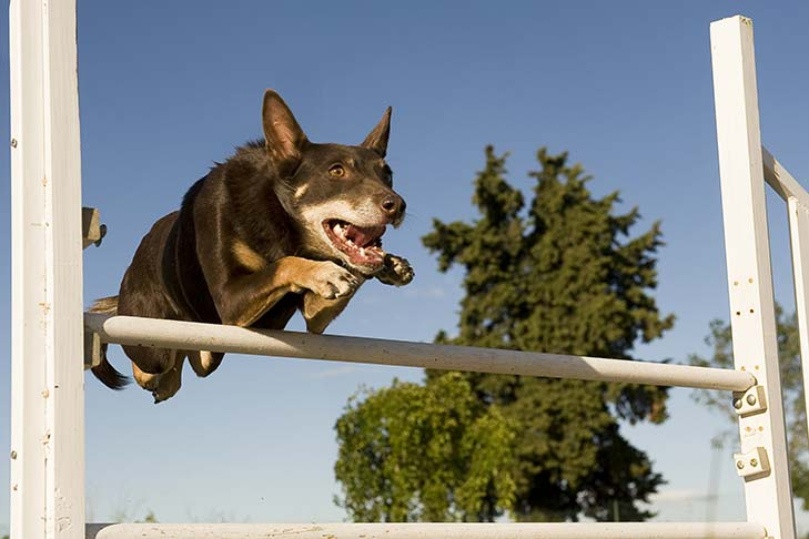 Working Kelpie leaping over a horizontal agility pole.